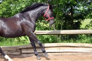 Elektrokardiogramm EKG Herzerkrankungen bei Pferd, Hund und Katze